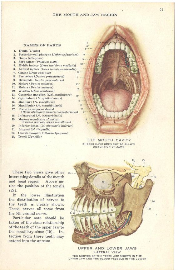 Exelent Anatomy Of Mouth Composition - Human Anatomy Images ...