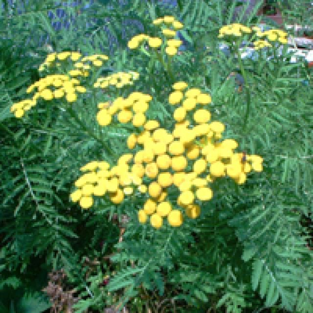 20 Deer-Resistant Perennials (They're Gorgeous Too!): Tansy