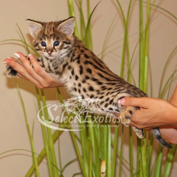 F1 Savannah Kittens For Sale - Select Exotics