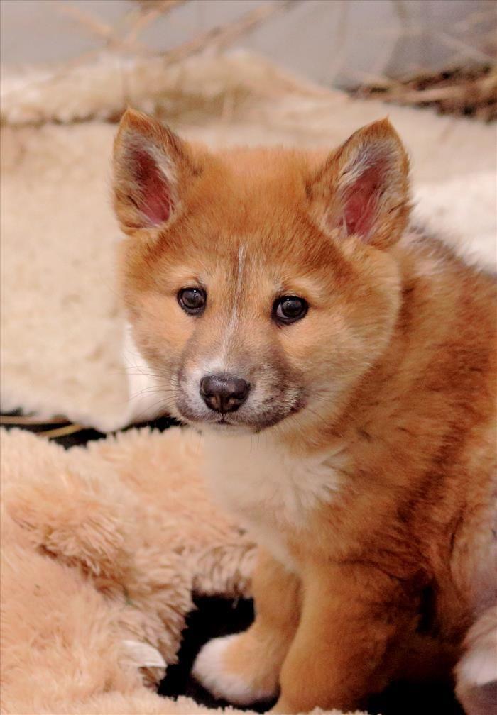Ms de 25 ideas increbles sobre Cachorro de lobo en Pinterest