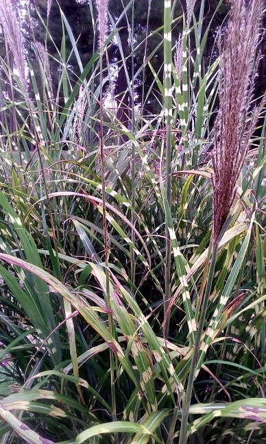 17 best images about grasses on pinterest gardens for Landscaping with zebra grass