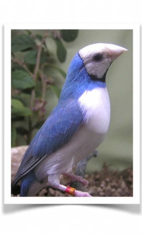 Blue-backed Lady Gouldian Finches for Sale - Lady Gouldian Finches For Sale - Pet Birds For Sale - Birds For Sale - Buy Birds Online