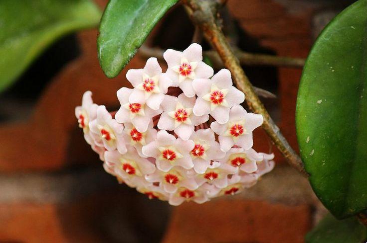 Hoyas, flores tan hermosas que parecen de mentira