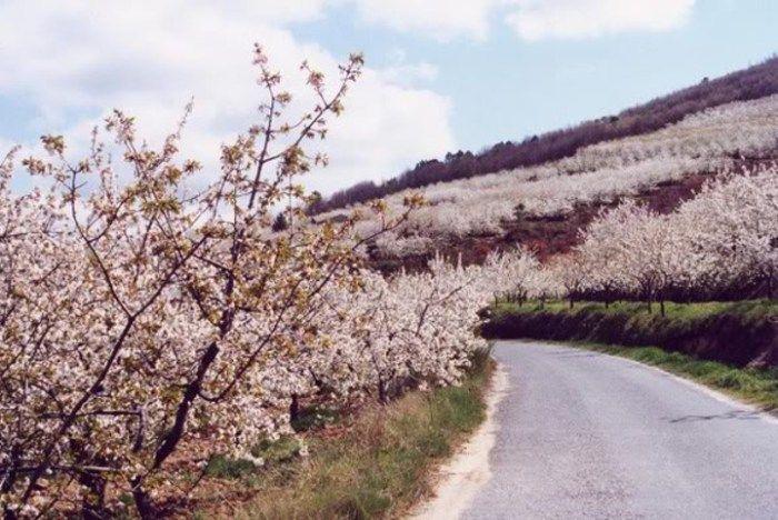 Subir à Gardunha, por entre as cerejeiras em flôr - Pedais.pt