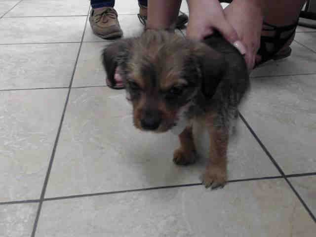 Baby Alert Harris County Houston Tx Mia Id A504941 I Am A Spayed Female Brown And Black Terrier Th Animal Shelter Small Dog Breeds Small Breed