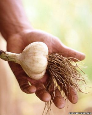 Fall is the perfect time to plant a garlic bulb.  Learn how to grow your own.