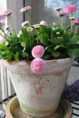 English daisy- Bellis perennis is a low-growing perennial that blooms with small daisylike flowers in white or shades of pink. It makes a good ground cover.
