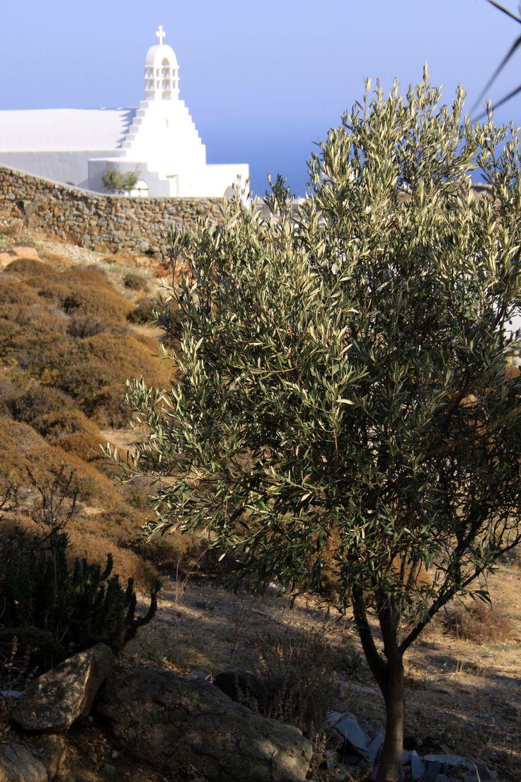 Olive tree & Church