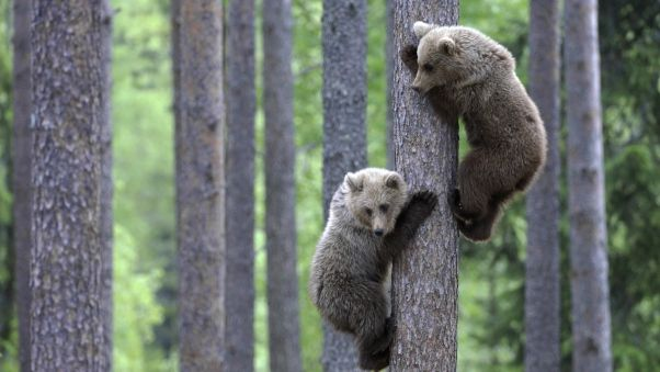 Wallpaper bears, couple, tree, climbing, forest