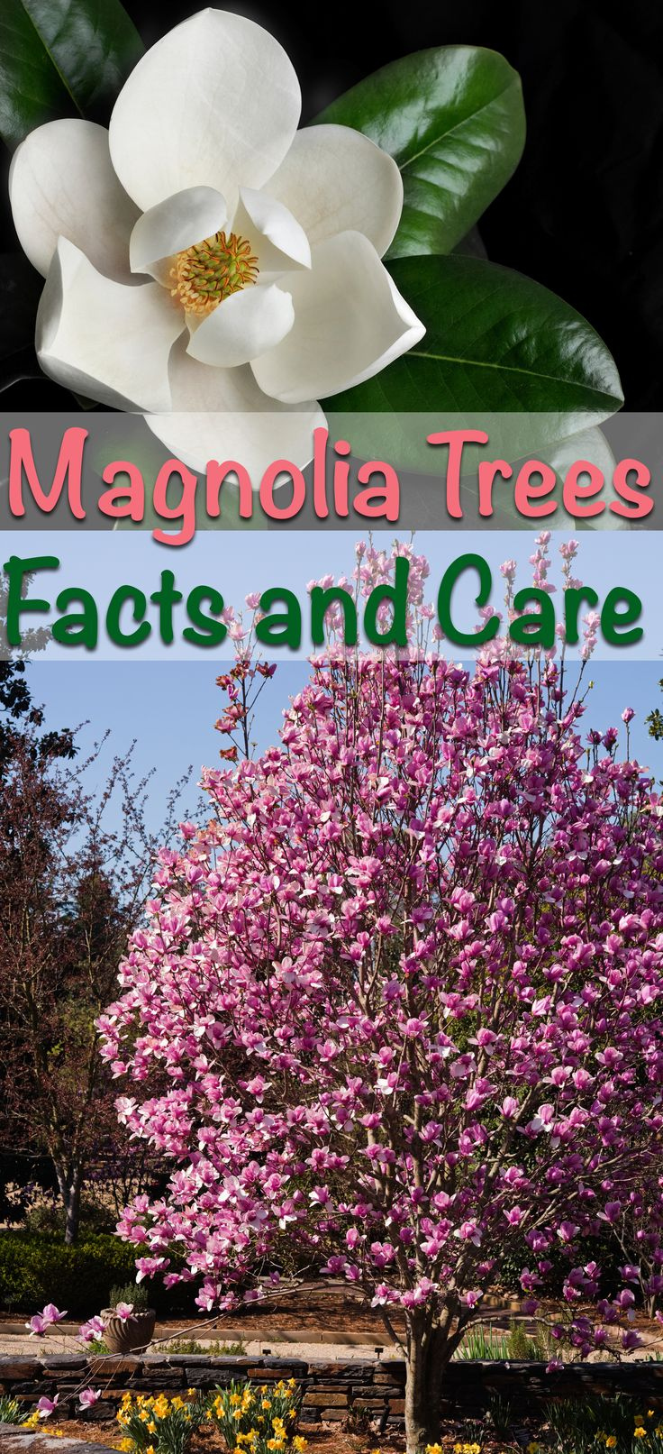 Learn about different Magnolia varieties to find out which one is perfect for your landscape. Follow these simple steps and your trees will thrive.