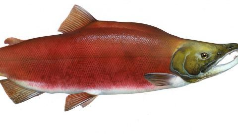 Salmon: Running the Gauntlet ~ Full Episode   Nature   PBS view free on pbs.org