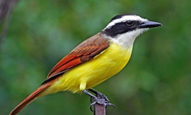 10 Amazing Animals That Start With The Letter K Flycatcher Animals Omnivorous Animals