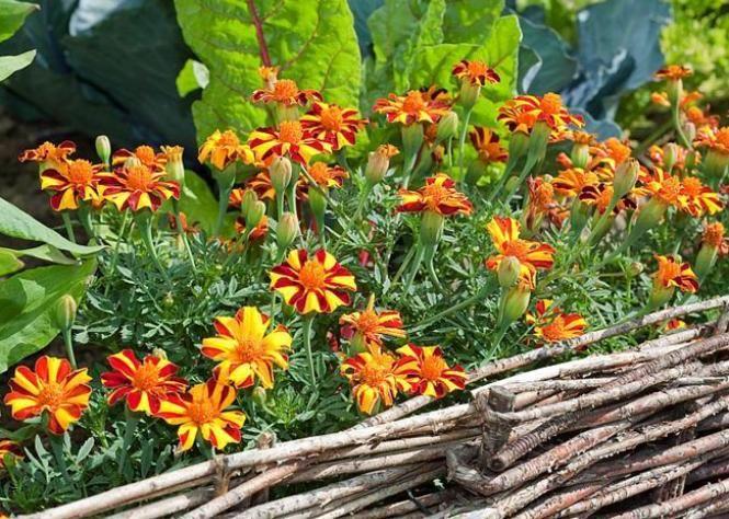 Comment tirer parti des associations de légumes, fleurs et plantes aromatiques