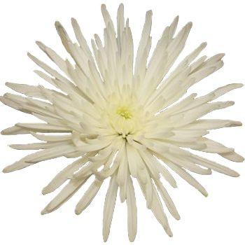 22 best wedding flowes images on pinterest margarita flower super white spider mum flower delistar mightylinksfo Image collections