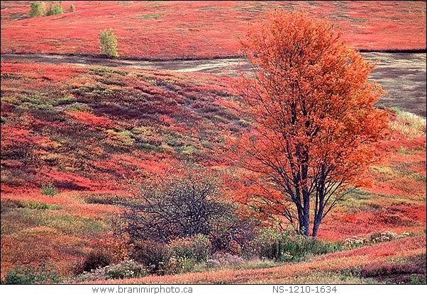 "Blueberry fields in Autumn colours. Near Oxford, Nova Scotia, Canada. Oxford is a self-proclaimed ""Blueberry Capital of the World"". Every year blueberry fields around the town explode in rich tapestry of fall colours."