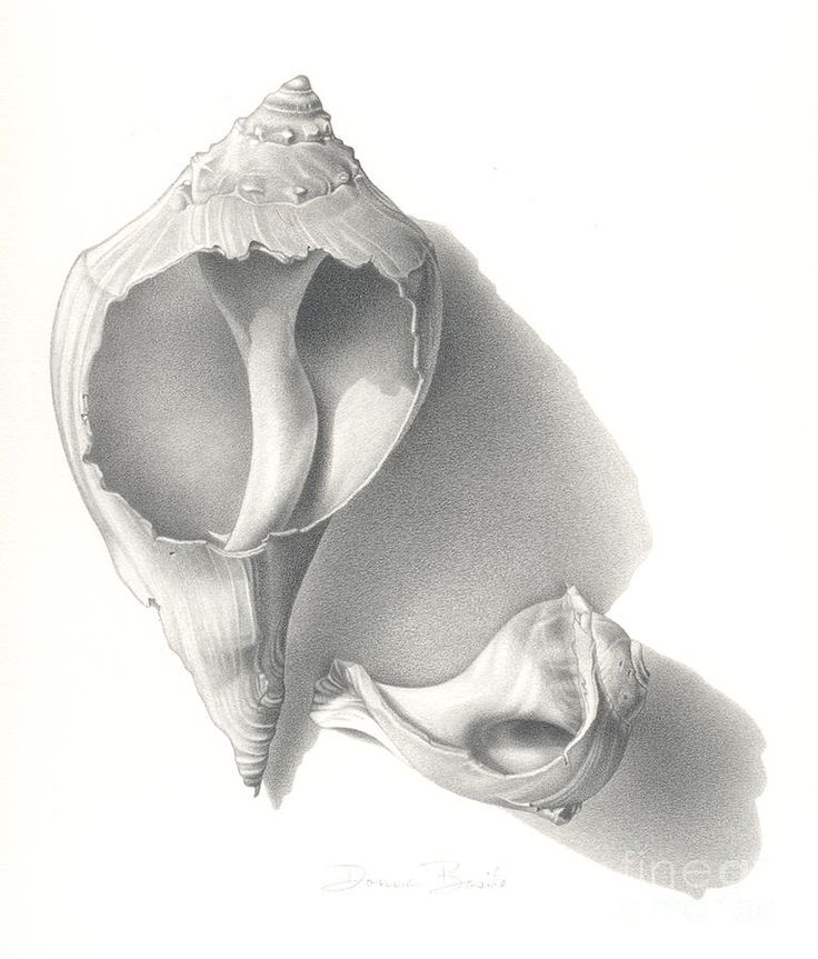 """Conch Shells"" Graphite Drawing, 12"" x 17"" by Donna Basile. Packaging cover art for the new line of DERWENT soft graphite pencils. Private Collection of Derwent."