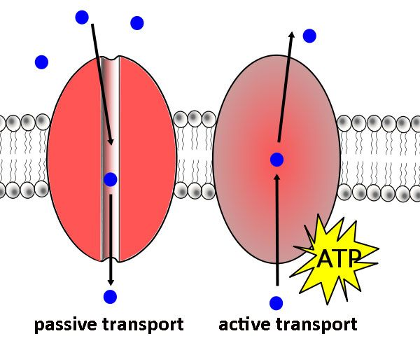 activity 5 simulating active transport View notes - pex-01-05 from zool 2304 at texas tech exercise 1: cell transport mechanisms and permeability: activity 5: simulating active transport lab report pre-lab quiz results you scored 50% by.
