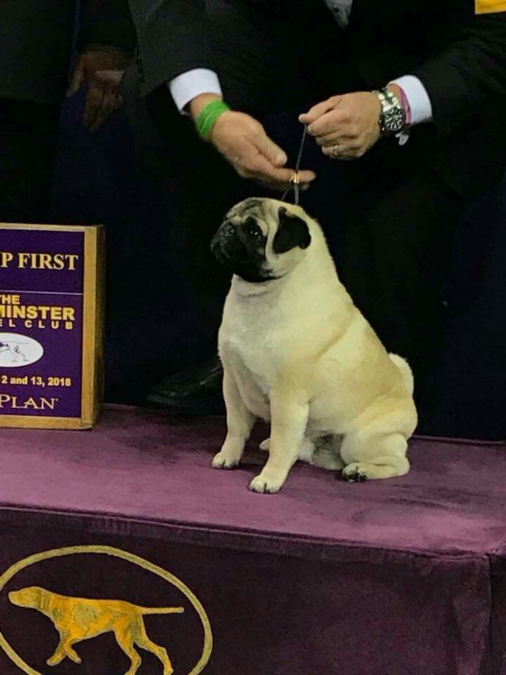 Winner In Toy Breed At 2018 Westminster Dog Show Goes To The Pug