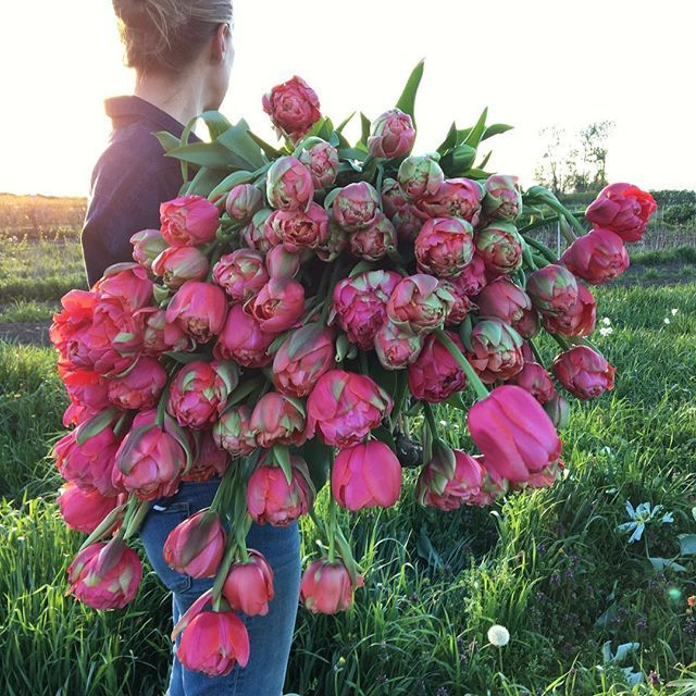 Picking the last of the greenhouse tulips for next weekend's #floretworkshop 💫This watermelon monster called 'Renown Unique' is a long time favorite. I can't wait to mix her with the first of the ranunculus. #growfloret