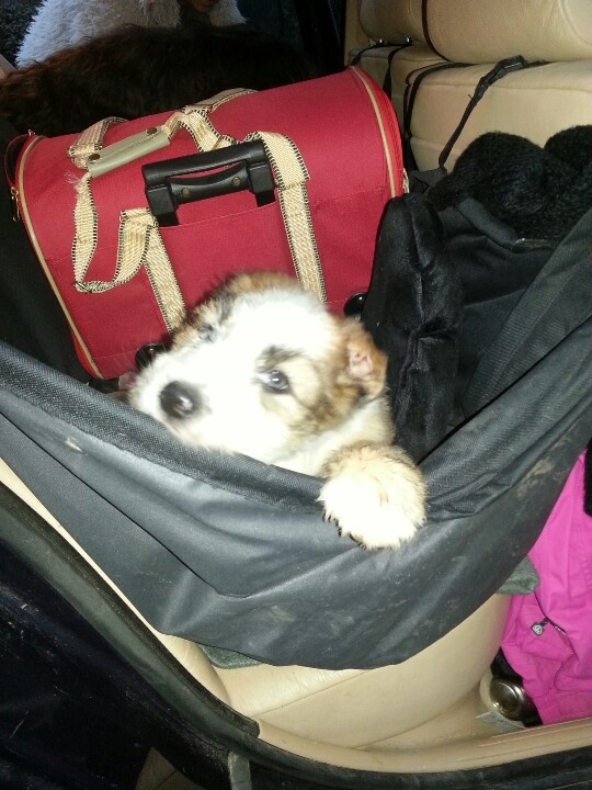 Puppy in the car