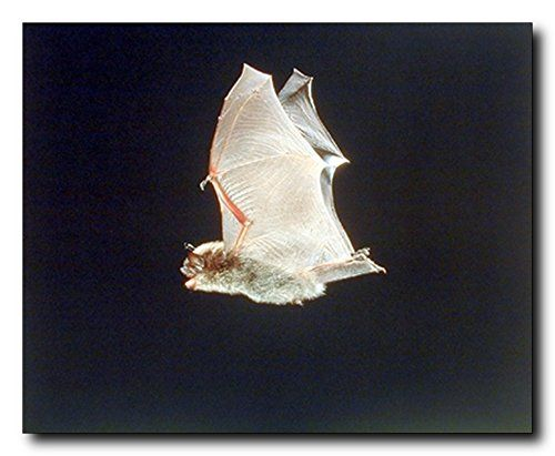 Look Wow! This poster captures the image of Bat with wings spread is sure to spruce up any room in the home. Bats are very interesting animals. They hunt a variety of prey. This poster delivers a sharp vivid image with a high degree of color accuracy which ensures long lasting beauty of the product. Order today and enjoy your surroundings.