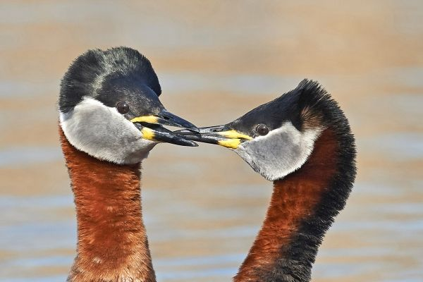The start of a Red Necked Grebe family
