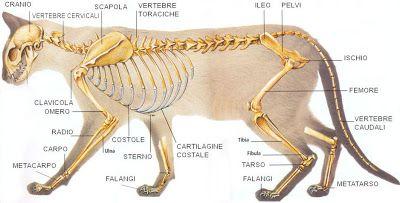 Diario di una biologa : Anatomia del gatto: scheletro ed ossa