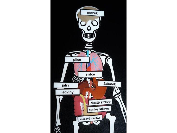 Orgány v těle .
