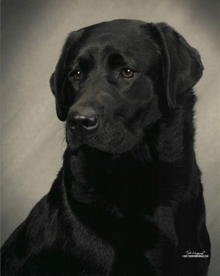 Black Labrador Retriever   Dogs ~ Mans' Best Friend