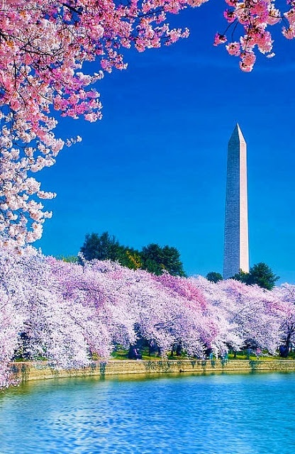 Cherry Blossom Festival | (10 Beautiful Photos)Cherries Blossoms, Buckets Lists, Washingtondc, Blossoms Festivals, Beautiful, Washington Dc, Travel, Places, Cherry Blossoms