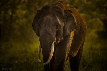 Asiatic Elephant Photo by Snehal Patel -- National Geographic Your Shot