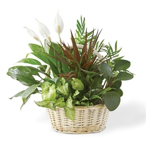 17 best images about house plants delivery on pinterest for Classic house plants