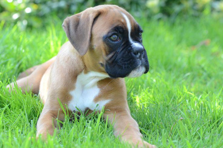 Boxer pup gijs