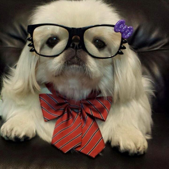 153 Best Images About My Pekingese Princess And Other Pekes On Pinterest Toy Dogs Search And