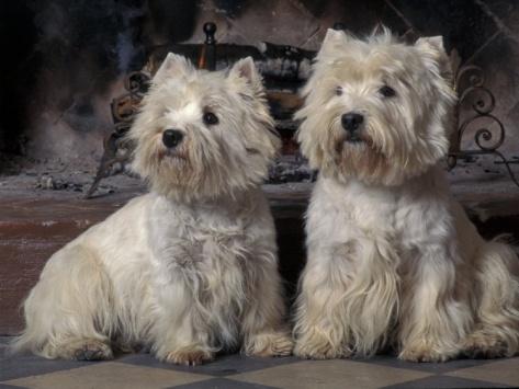 West Highland Terriers / Westies