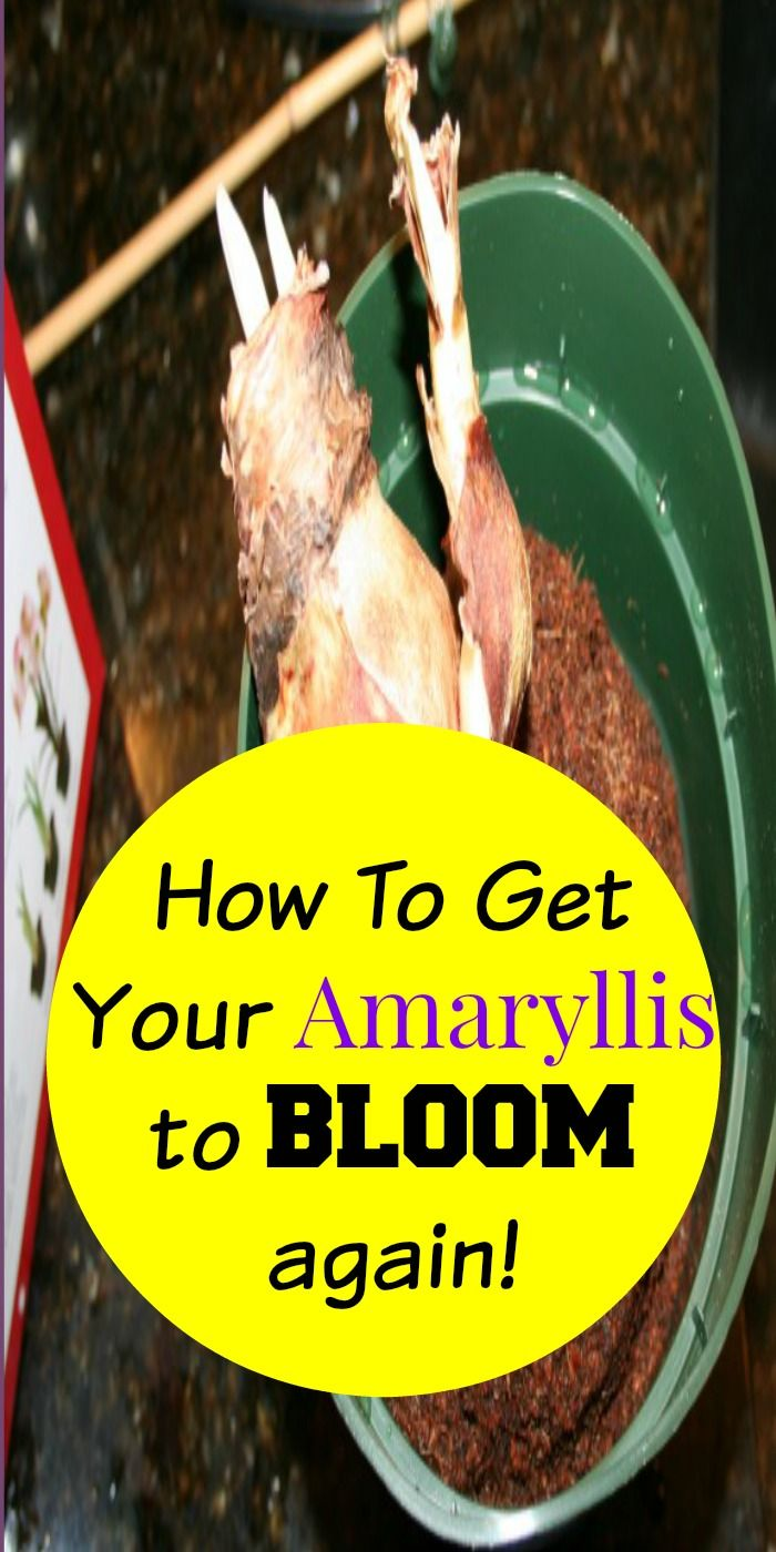 How to get an Amaryllis to bloom again.