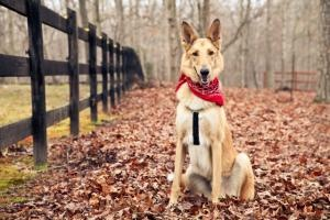 Finley is an adoptable Collie Dog in Charlotte, NC. Hi!   My name's Finley.   I'm a 3 year old Collie / Shepherd mix with an unbelievable personality.   Let's just say, if Lassie and Rin Tin Tin had a...
