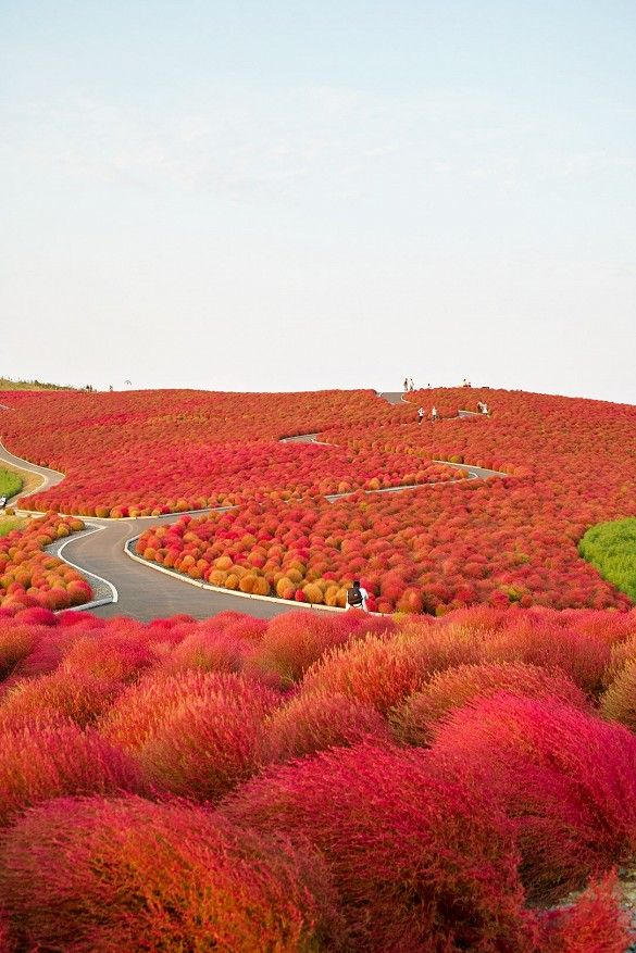The whimsical and fiery landscape of Hitachi Seaside Park in Japan