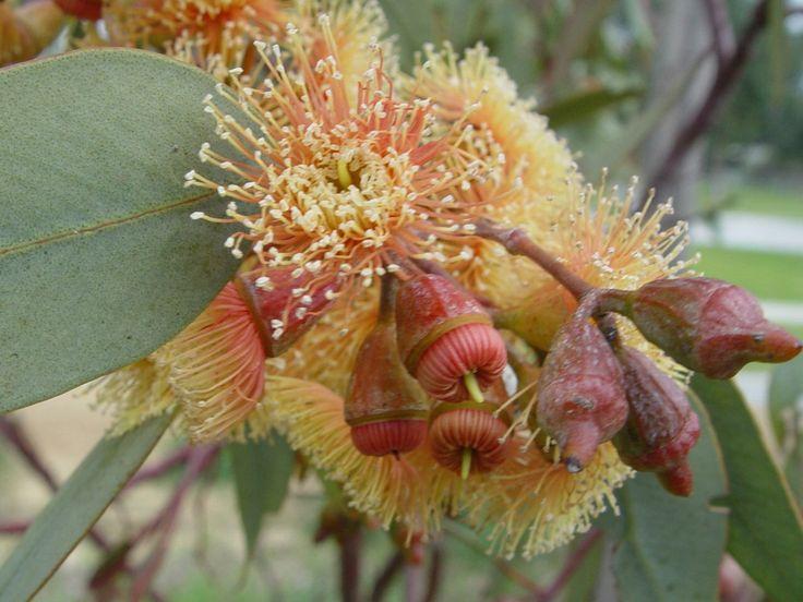 Eucalyptus torwood (E. torquarta x E. Woodwardii)