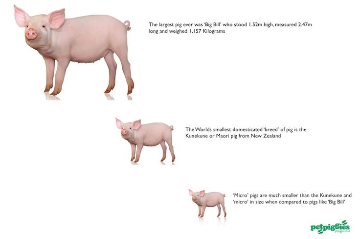 full grown micro pigs for sale - Google Search | micro ...