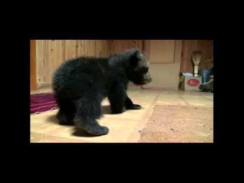 IFAW – Gerettetes Bärenjunges Toma geht zum ersten Mal
