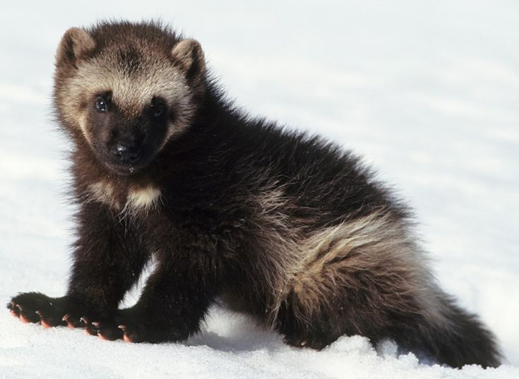 Wolverines are the largest member of the weasel family, and they look cute but they are fearless! The tiny 35 lb. mammal has been known to take down fully grown wolves and bears, even moose sometimes! The wolverine's snow shoe like paws allow it to walk on top of deep snow which give the small furry creatures an upper hand in a fight against these larger predators. The wolverine typically resides in the rugged Rocky Mountain Range...