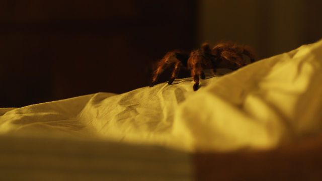 Nursing a broken heart, a man with arachnophobia buys a poisonous bird spider and sets it free in his apartment.