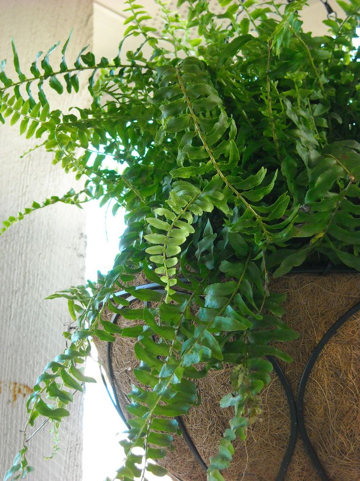 Boston ferns are popular houseplants and proper Boston fern care is essential to keeping this plant healthy. Learning how to take care of a Boston fern is not difficult, but it is specific. This article will help.