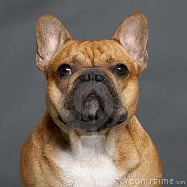 french bulldog images free - Google Search