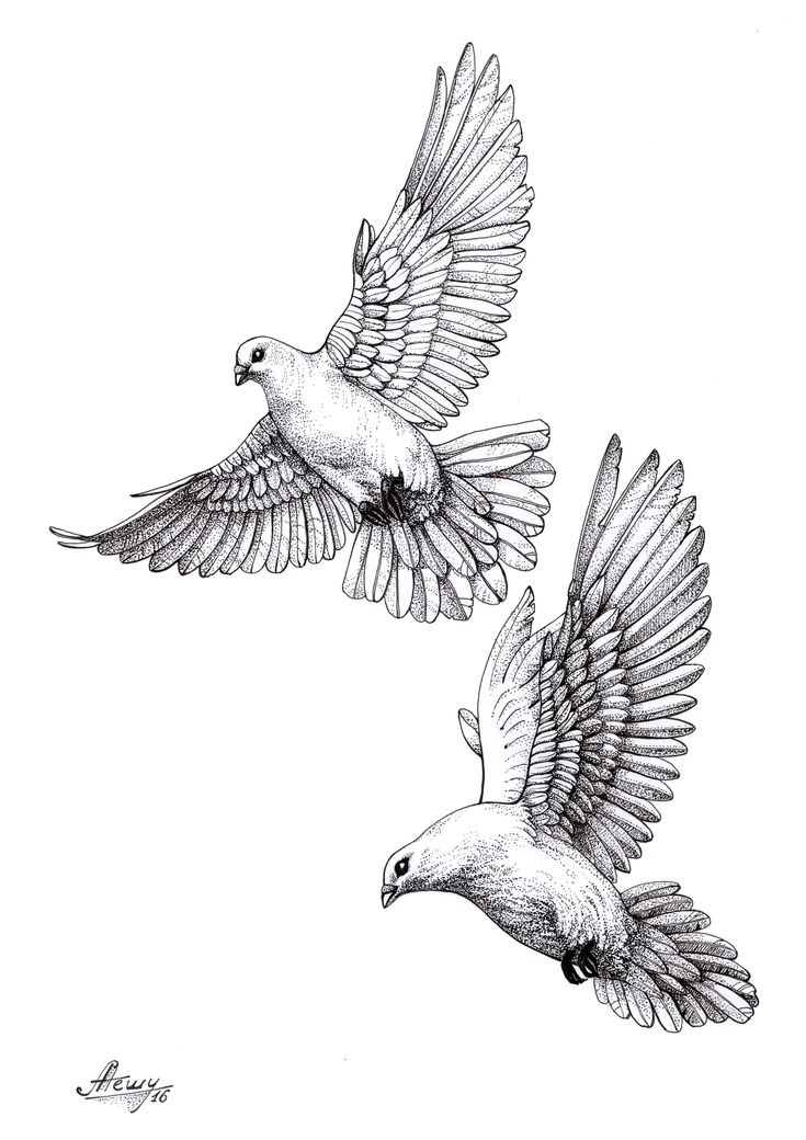 #dove#pigeon#sketch