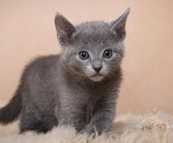How Much Russian Blue Cat Cost