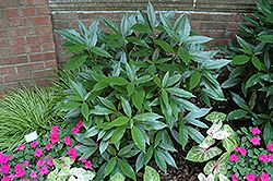 Click to view full-size photo of Sawtoothed Japanese Aucuba (Aucuba japonica 'Serratifolia') at Hicks Nurseries