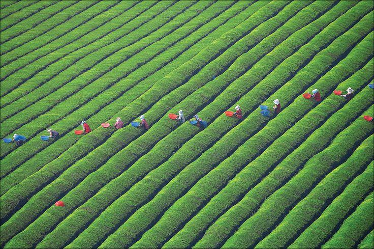 The pattern of tea fields by keehwan Kim, via 500px