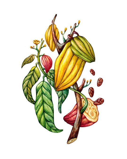 Branch of cacao, watercolor. Olga Svart Illustration